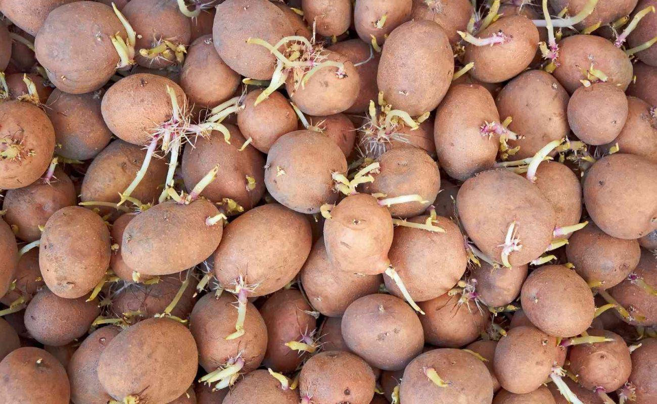 Gekeimte Kartoffeln noch essbar